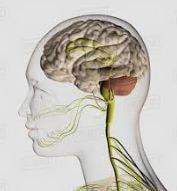 پاورپوینت دستگاه عصبی انسان
